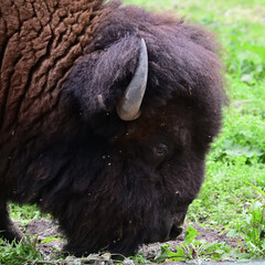 American Bison in field