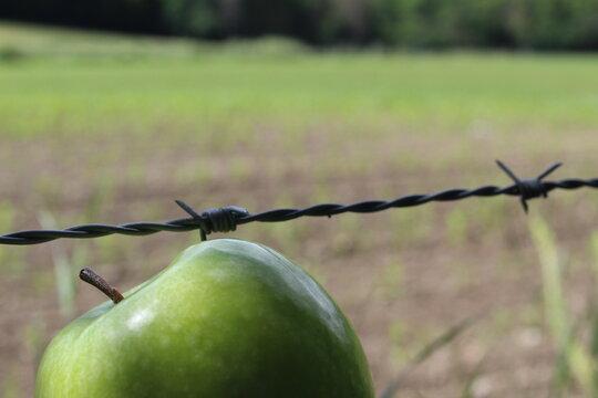 Grüner Apfel im Wald