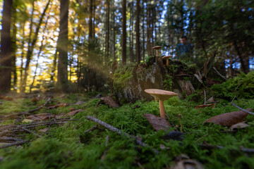 Early morning in a magic forest. A mushroom from low perspective growing in the sunlight.