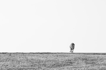 A male lion, Panthera leo, walks through a clearing towards the camera, in black and white