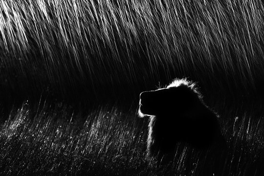 A side profile of a male lion, Panthera leo, lying in tall grass, looking up, at night, lit up by spotlight, in black and white