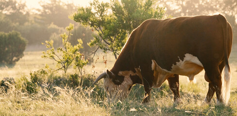 Wall Mural - Horned Hereford bull grazing during sunrise in pasture on beef cow farm.