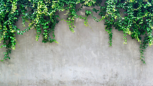Green ivy leaves over cement wall, copy space.