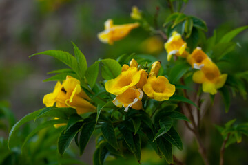 Close-up blossoming of yellow tecoma flowers outdoor