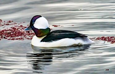 Male Bufflehead Duck Lake Washington Kirkland Washington