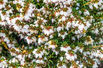 Springwood White Heather Blooming Macro