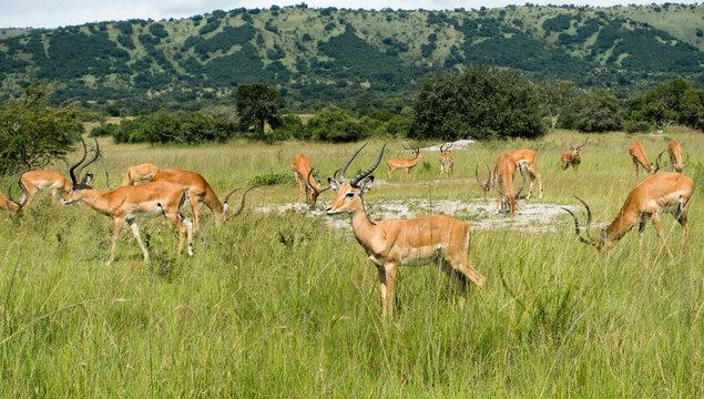 Impalas (antelope) in the Akagera National Park, Rwanda, Africa