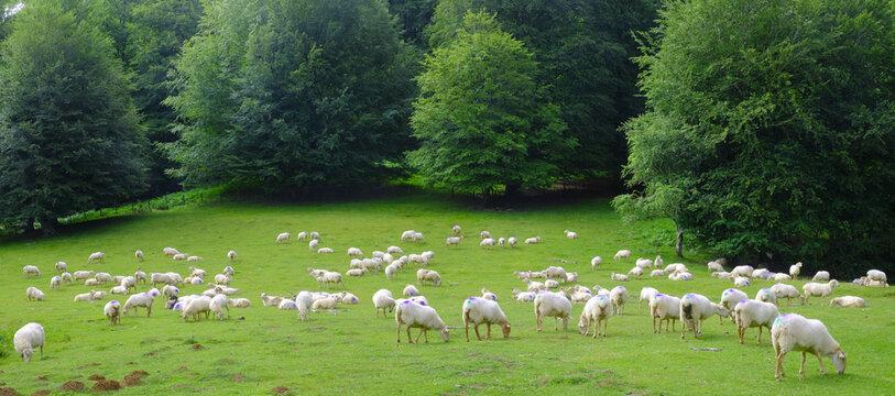 Flock of sheep grazing in the Sierra de Aralar, Navarra