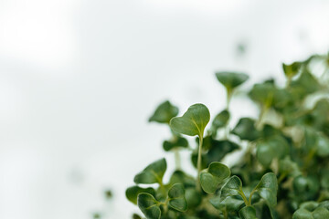 Close-up of young green sprouts of micro greens