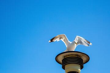 Eine Möwe mit ausgebreiteten Flügeln auf einer Strassenlampe unter wolkenlosem, blauen Himmel