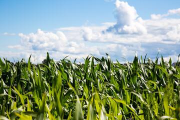 Maisfeld unter blauem Himmel mit Wolken