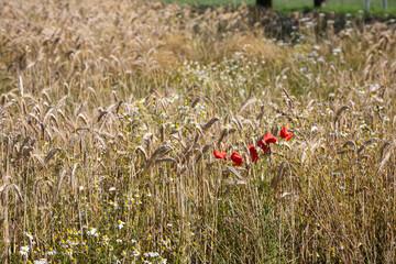 Ein Feld mit Gerste und Mohnblumen