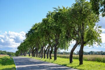 Vom Wind beim Wachsen gebogene Bäume in Mecklenburg-Vorpommern