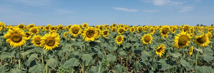 Bright golden sunflower field at sunset.