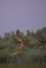 Fototapeta Mule Bucks