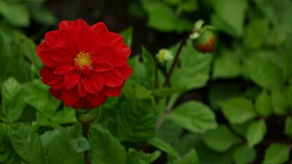 Obraz flower, kwiat, czerwony - fototapety do salonu