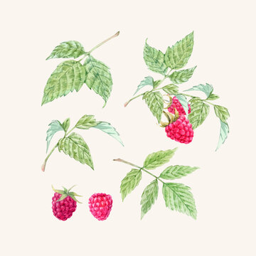 Beautiful vector set with watercolor raspberry and leaves painting. Stock illustration.