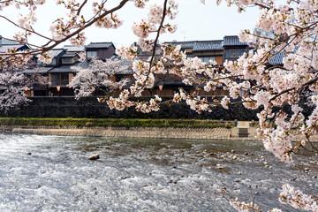 春の金沢 桜咲く浅野川と主計町茶屋街