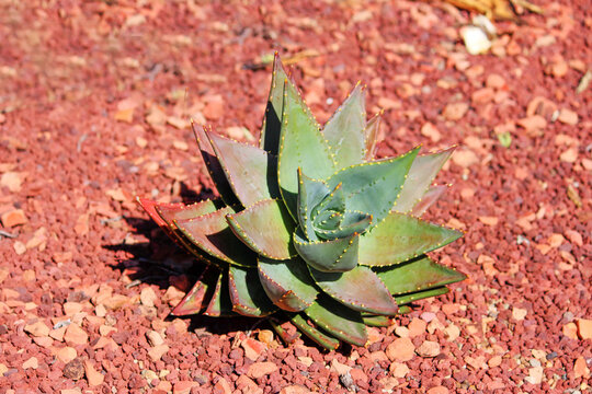 Agave plated in red gravel out in the open. Aloe brevifolia
