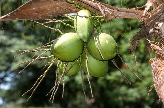 Cocotier, cocos nucifera, Madagascar
