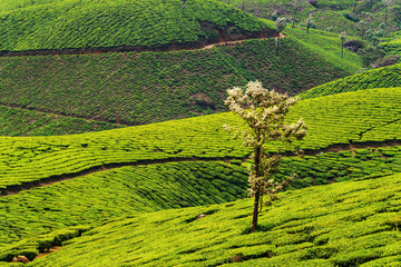 Tea plantations in Munnar, Kerala in India with mountains