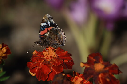 Red Admiral Butterfly (Vanessa atalanta) on marygold flower.