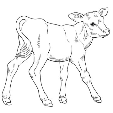 Hand drawn vector of calf isolated on white background for coloring page. Black and white  stock illustration of baby cow for coloring book.