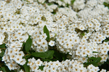 Flowers Gray Spirea plants are hardy, deciduous-leaved shrubs.