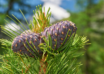 Cedar branch with cones in the autumn taiga forest.