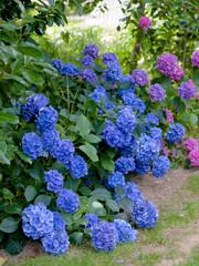 Les hortensias du Morbihan