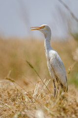 Cattle egret (Bubulcus ibis) in a reed field