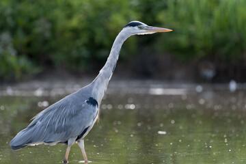 Grey heron (Ardea cinerea) standing in water