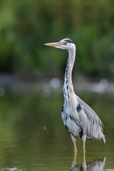 Grey heron (Ardea cinerea) portrait