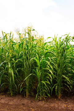 Sorghum cultivation for biomass production