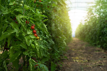 Greenhouse with cherry tomatoes. Organic farm