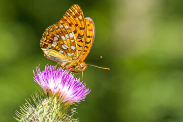 Closeup macro shot of a beautiful colourful Dark Green Fritillary butterfly on a thistle flower