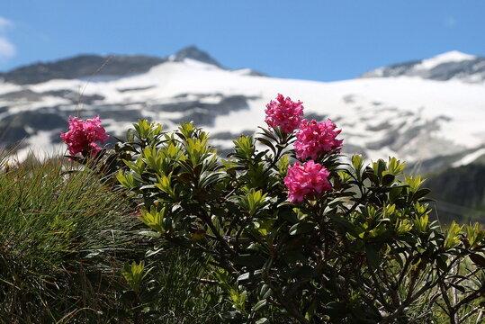Blühender Almrausch mit Gipfelpanorama.