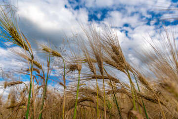 Selective Focus On Wheat Ear.Close up of ripe wheat ears against beautiful sky with clouds.spikelet of wheat on a field on a farm against the backdrop of a blue sky.With Selective Focus on the Subject