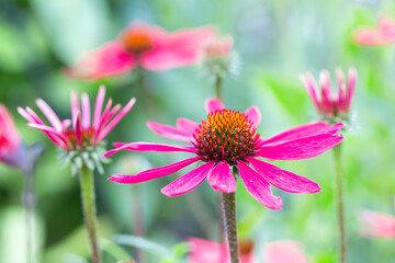 Purple Echinacea flower with shallow depth background