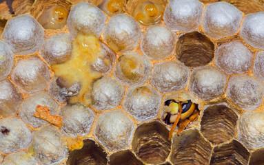 Hatching European Hornet