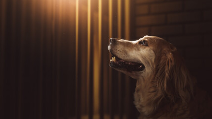 (photo composite on 3D Rendering, illustration) hopeful golden retriever inside a dog pound cell.