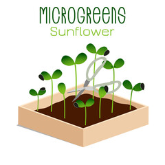 Microgreens Sunflower. Sprouts in a bowl. Sprouting seeds of a plant. Vitamin supplement, vegan food.