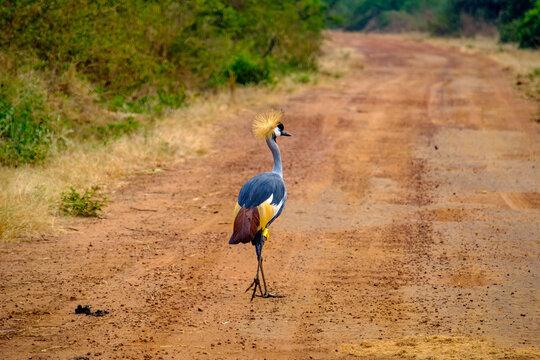 Grey Crowned Crane in Akagera National Park, Rwanda