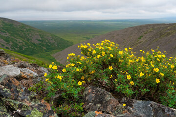 Blooming shrubby cinquefoil (Pentaphylloides fruticosa) on a mountainside. Beautiful summer arctic landscape. Yellow flowers among the stones. Mountain and tundra views. Nature of Chukotka and Siberia