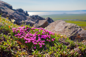 Blooming moss campion (Silene acaulis) in the tundra on a mountainside. Purple flowers among the rocks. View from the mountain to the valley. Summer arctic landscape. Nature of Chukotka and Siberia.