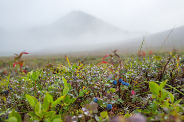 Summer arctic landscape. Fog in a mountain valley. Blueberries (Vaccinium uliginosum) in the tundra on the background of mountains. Wild berries. Dew on the leaves. Nature of Chukotka and Siberia.