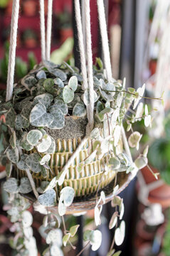 Hängeampel mit Leuchterblume (Ceropegia woodii variegata)