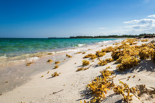 Seaweed on the tropical Xcacel beach on the Caribbean Sea coast. Beautiful tropical landscape, Quintana Roo, Mexico.