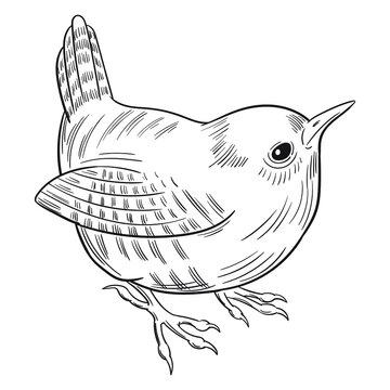 Hand drawn vector of wren isolated on white background for coloring page. Black and white  stock illustration of bird for coloring book.