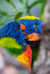 rainbow lorikeet parrot cleaning each other